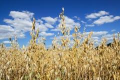 生长燕麦调遣与在背景的天空 库存图片