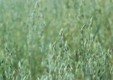生长燕麦 库存图片