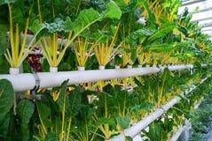 生长甜菜的工业温室 免版税库存照片