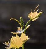 生长生物葡萄 库存图片