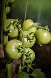 生长的蕃茄-特写镜头 库存照片