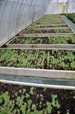 生长的装饰灌木和cuttings_18温室 库存图片