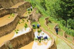 生长米在Mu Cang柴,安沛市,越南 库存照片