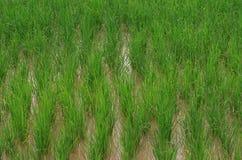 生长米的领域在水中 免版税库存照片