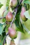 生长红色梨分支绿色叶子 农夫食物静物画场面 宏观看法,选择聚焦 库存照片