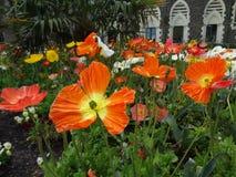 生长红色的鸦片狂放在克赖斯特切奇植物园里 免版税库存照片