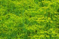 生长绿色莳萝的抽象背景与黄色花的 免版税库存照片