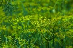 生长绿色莳萝的抽象背景与黄色花的 库存图片