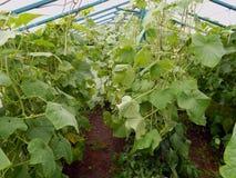 生长自一间温室的新鲜的成熟黄瓜在庭院里 免版税库存图片
