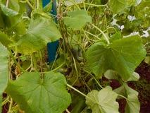 生长自一间温室的新鲜的成熟黄瓜在庭院里 库存照片