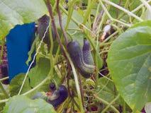 生长自一间温室的新鲜的成熟黄瓜在庭院里 免版税图库摄影