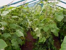 生长自一间温室的新鲜的成熟黄瓜在庭院里 免版税库存照片