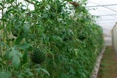生长自一间温室的西瓜在有机农场泰国 免版税库存图片