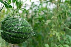 生长自一间温室的西瓜在有机农场泰国 免版税库存照片