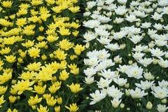 生长自商业温室的菊花 库存照片