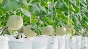 生长自温室的年轻绿色瓜或甜瓜 库存图片