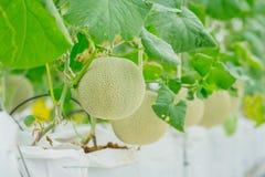生长自温室的年轻绿色瓜或甜瓜 图库摄影