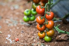 生长自温室的成熟西红柿 鲜美红色爽快蕃茄 库存图片