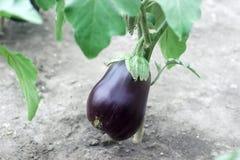 生长自温室的成熟紫色茄子 库存图片