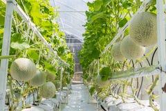 生长自温室的甜瓜瓜 库存照片