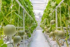 生长自温室的甜瓜瓜 免版税库存照片