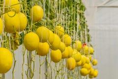 生长自温室的甜瓜瓜 免版税库存图片
