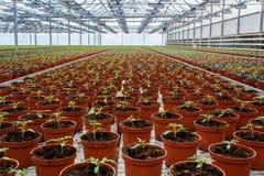 生长自温室的盆的莴苣 库存照片
