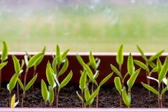 生长自温室的胡椒幼木 库存照片