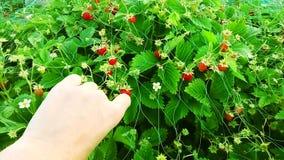 生长自温室的草莓 妇女手采摘草莓 股票录像