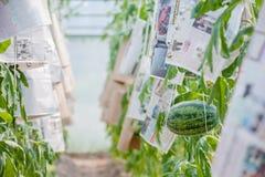 生长自温室的西瓜 免版税库存照片