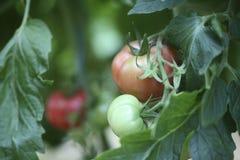 生长自温室的西红柿 免版税库存图片