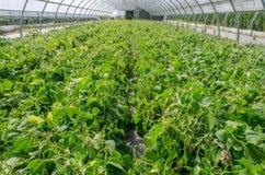 生长自温室的青豆 库存图片