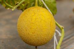 生长自温室的黄色甜瓜瓜 免版税库存图片
