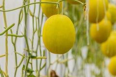 生长自温室的黄色甜瓜瓜 免版税库存照片