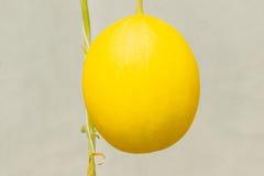 生长自温室的黄色甜瓜瓜 库存照片
