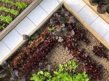 生长自然绿色和红色莴苣和在沙拉混合地方教育局 免版税图库摄影