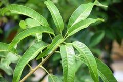 生长芒果树叶子背景 免版税图库摄影