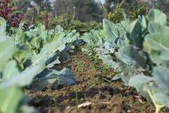 生长花椰菜的领域在晴天 免版税库存图片