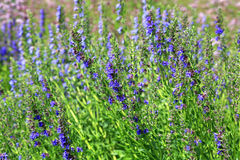 生长英国淡紫色,熏衣草属angustifolia 免版税库存图片