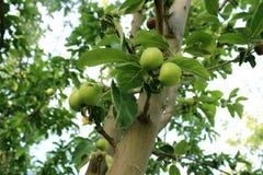 生长苹果树 免版税库存照片