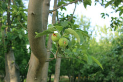 生长苹果树 库存照片