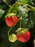 生长草莓树 库存图片