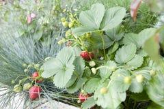 生长草莓 免版税库存照片