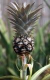 生长菠萝 免版税库存图片