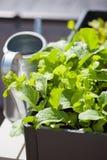 生长萝卜和沙拉在容器在阳台 菜加尔省 免版税库存照片