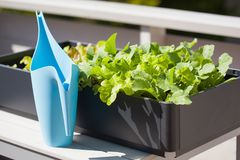 生长萝卜和沙拉在容器在阳台 菜加尔省 免版税图库摄影