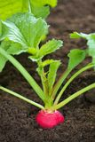生长萝卜土壤 库存图片