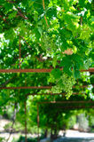 生长葡萄 库存照片