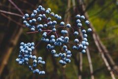 生长蓝色森林的莓果成熟 免版税库存照片