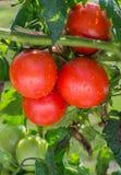 生长蕃茄 免版税库存图片